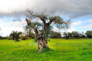 Anche gli ulivi definiti spacciati nella zona definita il cimitero degli ulivi, zona rossa, risorgono con forza, 17.11.2013