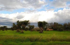 Gli ulivi del Salento in rivegetazione(foto del 23 nov. 2013