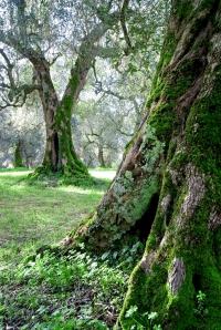 Agroforesta degli ulivi del Salento, foto di Giovanni Enriquez
