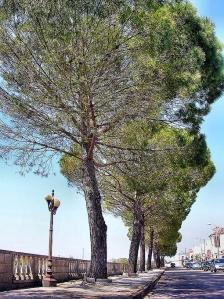 Vignale, Pini d'Italia, Nociglia (Le)
