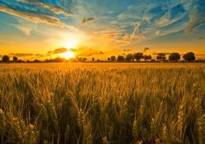 campo-di-grano-tramonto-nuvole-scia-di-condensazione-161359-1